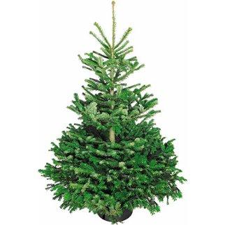 OBI: Weihnachtsbaum (Echte Nordmanntanne, 125-150 cm) um 9,99 € inkl Versand