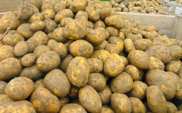 TooGoodToGo Soviele Kartoffeln wie man tragen kann für 2.99€