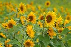 Sonnenblumen kostenlos zum Selberpflücken in Frohnleiten (nahe Burg Rabenstein)
